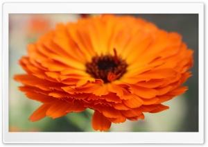 Flower Ultra HD Wallpaper for 4K UHD Widescreen desktop, tablet & smartphone