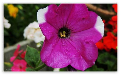 Flower - Peyman Jari ❤ 4K UHD Wallpaper for Wide 5:3 Widescreen WGA ; 4K UHD 16:9 Ultra High Definition 2160p 1440p 1080p 900p 720p ; UHD 16:9 2160p 1440p 1080p 900p 720p ; Mobile 5:3 16:9 - WGA 2160p 1440p 1080p 900p 720p ;