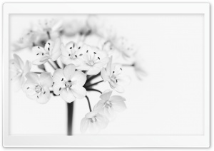 Flower Black and White HD Wide Wallpaper for Widescreen