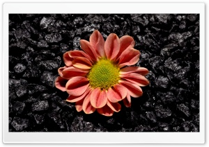 Flower Black Background HD Wide Wallpaper for Widescreen