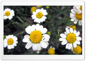 Flower Davoodi HD Wide Wallpaper for Widescreen