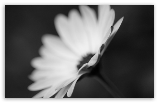 Flower Monochrome HD wallpaper for Wide 16:10 5:3 Widescreen WHXGA WQXGA WUXGA WXGA WGA ; HD 16:9 High Definition WQHD QWXGA 1080p 900p 720p QHD nHD ; Standard 4:3 5:4 3:2 Fullscreen UXGA XGA SVGA QSXGA SXGA DVGA HVGA HQVGA devices ( Apple PowerBook G4 iPhone 4 3G 3GS iPod Touch ) ; iPad 1/2/Mini ; Mobile 4:3 5:3 3:2 16:9 5:4 - UXGA XGA SVGA WGA DVGA HVGA HQVGA devices ( Apple PowerBook G4 iPhone 4 3G 3GS iPod Touch ) WQHD QWXGA 1080p 900p 720p QHD nHD QSXGA SXGA ;