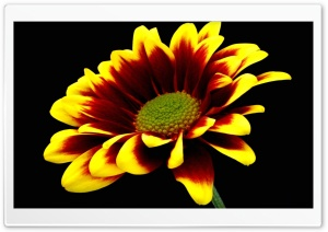 Flower On Black Background HD Wide Wallpaper for Widescreen