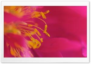 Flower Stamens, Macro HD Wide Wallpaper for Widescreen