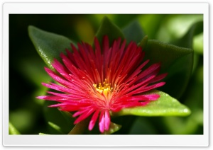 Flower With Red Thin Petals HD Wide Wallpaper for Widescreen