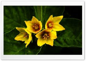 Flowers HD Wide Wallpaper for 4K UHD Widescreen desktop & smartphone