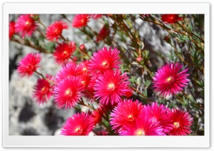 Flowers HD Wide Wallpaper for Widescreen