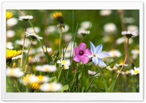 Flowers Field HD Wide Wallpaper for Widescreen