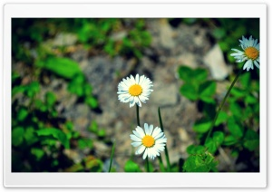 Flowers in the Field HD Wide Wallpaper for Widescreen