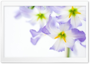 Flowers On White Background HD Wide Wallpaper for Widescreen