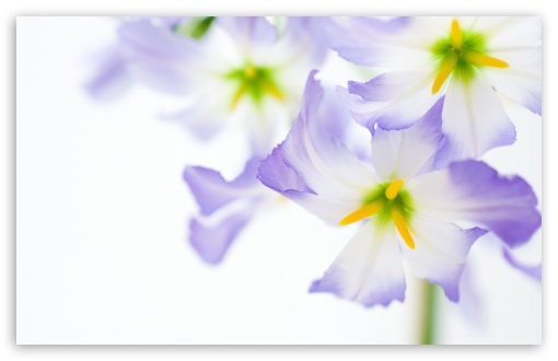 Flowers On White Background HD wallpaper for Wide 16:10 5:3 Widescreen WHXGA WQXGA WUXGA WXGA WGA ; HD 16:9 High Definition WQHD QWXGA 1080p 900p 720p QHD nHD ; Standard 4:3 5:4 3:2 Fullscreen UXGA XGA SVGA QSXGA SXGA DVGA HVGA HQVGA devices ( Apple PowerBook G4 iPhone 4 3G 3GS iPod Touch ) ; Tablet 1:1 ; iPad 1/2/Mini ; Mobile 4:3 5:3 3:2 16:9 5:4 - UXGA XGA SVGA WGA DVGA HVGA HQVGA devices ( Apple PowerBook G4 iPhone 4 3G 3GS iPod Touch ) WQHD QWXGA 1080p 900p 720p QHD nHD QSXGA SXGA ; Dual 5:4 QSXGA SXGA ;