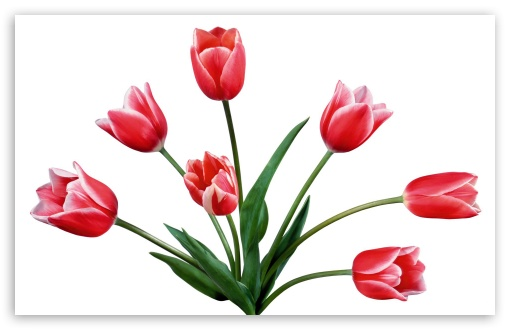Flowers Red Tulips HD wallpaper for Wide 16:10 5:3 Widescreen WHXGA WQXGA WUXGA WXGA WGA ; HD 16:9 High Definition WQHD QWXGA 1080p 900p 720p QHD nHD ; Standard 3:2 Fullscreen DVGA HVGA HQVGA devices ( Apple PowerBook G4 iPhone 4 3G 3GS iPod Touch ) ; Mobile 5:3 3:2 16:9 - WGA DVGA HVGA HQVGA devices ( Apple PowerBook G4 iPhone 4 3G 3GS iPod Touch ) WQHD QWXGA 1080p 900p 720p QHD nHD ;