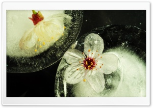 Flowers Trapped In Ice HD Wide Wallpaper for Widescreen