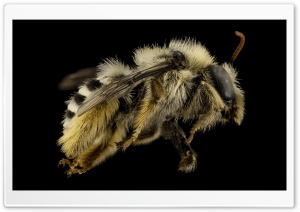Fluffy Bee HD Wide Wallpaper for Widescreen
