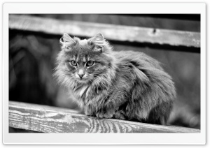 Fluffy Cat HD Wide Wallpaper for Widescreen