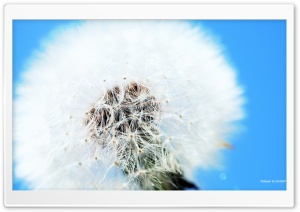 Fluffy Dandelion Ultra HD Wallpaper for 4K UHD Widescreen desktop, tablet & smartphone
