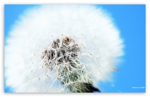 Fluffy Dandelion ❤ 4K UHD Wallpaper for Wide 16:10 5:3 Widescreen WHXGA WQXGA WUXGA WXGA WGA ; 4K UHD 16:9 Ultra High Definition 2160p 1440p 1080p 900p 720p ; Mobile 5:3 16:9 - WGA 2160p 1440p 1080p 900p 720p ;