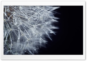 Fluffy Dandelion HD Wide Wallpaper for Widescreen