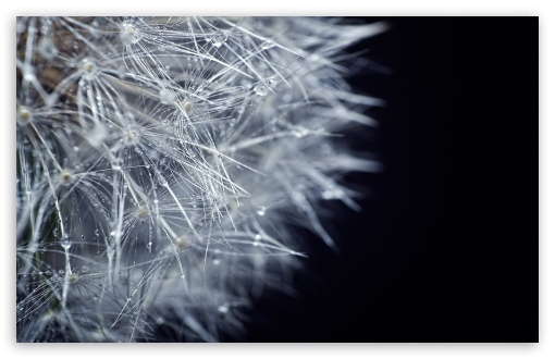 Fluffy Dandelion HD wallpaper for Wide 16:10 5:3 Widescreen WHXGA WQXGA WUXGA WXGA WGA ; HD 16:9 High Definition WQHD QWXGA 1080p 900p 720p QHD nHD ; Standard 4:3 5:4 3:2 Fullscreen UXGA XGA SVGA QSXGA SXGA DVGA HVGA HQVGA devices ( Apple PowerBook G4 iPhone 4 3G 3GS iPod Touch ) ; Tablet 1:1 ; iPad 1/2/Mini ; Mobile 4:3 5:3 3:2 16:9 5:4 - UXGA XGA SVGA WGA DVGA HVGA HQVGA devices ( Apple PowerBook G4 iPhone 4 3G 3GS iPod Touch ) WQHD QWXGA 1080p 900p 720p QHD nHD QSXGA SXGA ;