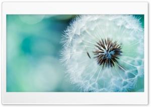 Fluffy dandelion Ultra HD Wallpaper for 4K UHD Widescreen desktop, tablet & smartphone