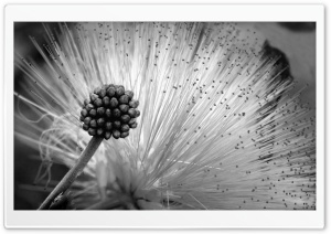 Fluffy Flower Black And White HD Wide Wallpaper for Widescreen
