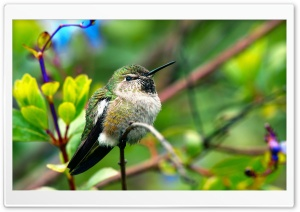 Fluffy Hummingbird HD Wide Wallpaper for 4K UHD Widescreen desktop & smartphone