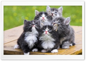 Fluffy Kittens Ultra HD Wallpaper for 4K UHD Widescreen desktop, tablet & smartphone