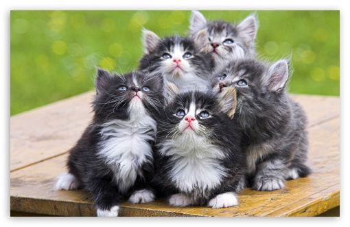 Fluffy Kittens HD wallpaper for Standard 4:3 5:4 Fullscreen UXGA XGA SVGA QSXGA SXGA ; Wide 16:10 5:3 Widescreen WHXGA WQXGA WUXGA WXGA WGA ; Other 3:2 DVGA HVGA HQVGA devices ( Apple PowerBook G4 iPhone 4 3G 3GS iPod Touch ) ; Mobile VGA WVGA iPhone iPad Phone - VGA QVGA Smartphone ( PocketPC GPS iPod Zune BlackBerry HTC Samsung LG Nokia Eten Asus ) WVGA WQVGA Smartphone ( HTC Samsung Sony Ericsson LG Vertu MIO ) HVGA Smartphone ( Apple iPhone iPod BlackBerry HTC Samsung Nokia ) ;