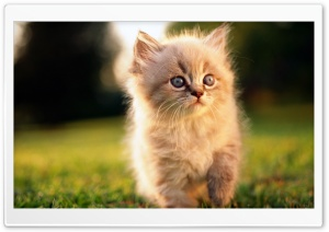 Fluffy Kitty HD Wide Wallpaper for Widescreen