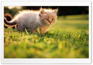 Fluffy Kitty 2 HD Wide Wallpaper for 4K UHD Widescreen desktop & smartphone