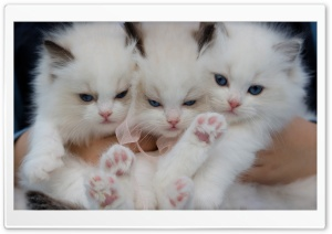 Fluffy White Kittens with Blue Eyes Ultra HD Wallpaper for 4K UHD Widescreen desktop, tablet & smartphone