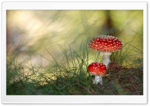 Fly Agaric Mushrooms HD Wide Wallpaper for 4K UHD Widescreen desktop & smartphone