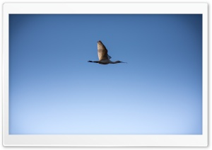 Flying Bird In The Sky HD Wide Wallpaper for Widescreen