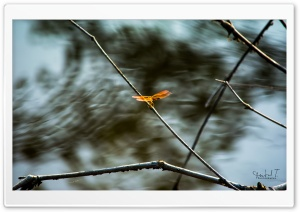 Flying Dragonfly HD Wide Wallpaper for Widescreen