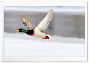 Flying Duck HD Wide Wallpaper for Widescreen