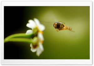 Flying Insect 1 HD Wide Wallpaper for Widescreen