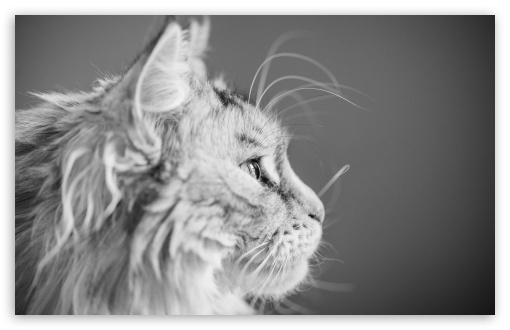 Focused, Maine Coon Cat, Beautiful Profile Portrait UltraHD Wallpaper for Wide 16:10 5:3 Widescreen WHXGA WQXGA WUXGA WXGA WGA ; UltraWide 21:9 24:10 ; 8K UHD TV 16:9 Ultra High Definition 2160p 1440p 1080p 900p 720p ; UHD 16:9 2160p 1440p 1080p 900p 720p ; Standard 4:3 5:4 3:2 Fullscreen UXGA XGA SVGA QSXGA SXGA DVGA HVGA HQVGA ( Apple PowerBook G4 iPhone 4 3G 3GS iPod Touch ) ; Smartphone 16:9 3:2 5:3 2160p 1440p 1080p 900p 720p DVGA HVGA HQVGA ( Apple PowerBook G4 iPhone 4 3G 3GS iPod Touch ) WGA ; Tablet 1:1 ; iPad 1/2/Mini ; Mobile 4:3 5:3 3:2 16:9 5:4 - UXGA XGA SVGA WGA DVGA HVGA HQVGA ( Apple PowerBook G4 iPhone 4 3G 3GS iPod Touch ) 2160p 1440p 1080p 900p 720p QSXGA SXGA ;