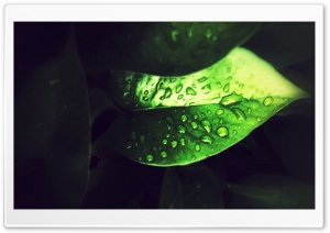 Focussed Leaf HD Wide Wallpaper for Widescreen