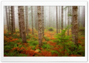 Foggy Fall Forest Olympic National Forest Washington HD Wide Wallpaper for Widescreen