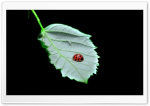FoMef - Ladybird HD Wide Wallpaper for Widescreen