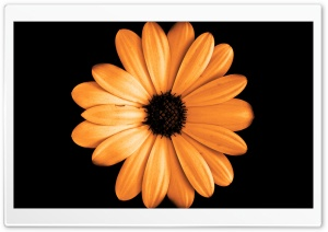 FoMef - Orange Flowerdark HD Wide Wallpaper for Widescreen