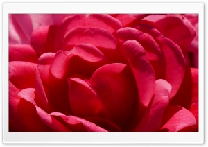 FoMef Flowers Red World 5K HD Wide Wallpaper for Widescreen