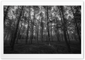 Forest Black and White HD Wide Wallpaper for Widescreen