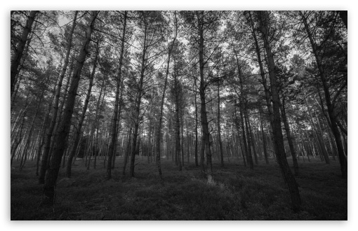 Download forest black and white hd wallpaper