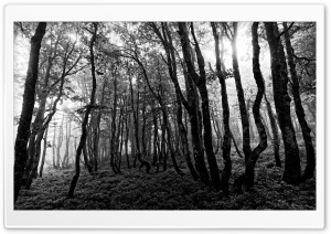 Forest Black and White Photography HD Wide Wallpaper for 4K UHD Widescreen desktop & smartphone