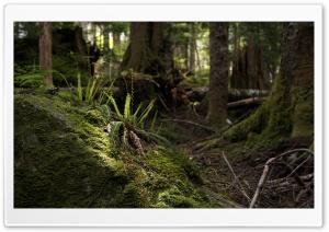 Forest Fern HD Wide Wallpaper for Widescreen
