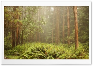 Forest Ferns HD Wide Wallpaper for Widescreen
