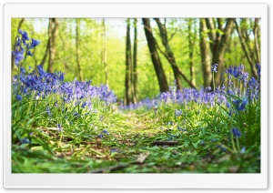 Forest, Path, Bluebells, Flowers, Spring Ultra HD Wallpaper for 4K UHD Widescreen desktop, tablet & smartphone