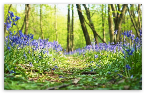 Forest, Path, Bluebells, Flowers, Spring UltraHD Wallpaper for Wide 16:10 5:3 Widescreen WHXGA WQXGA WUXGA WXGA WGA ; UltraWide 21:9 24:10 ; 8K UHD TV 16:9 Ultra High Definition 2160p 1440p 1080p 900p 720p ; UHD 16:9 2160p 1440p 1080p 900p 720p ; Standard 3:2 Fullscreen DVGA HVGA HQVGA ( Apple PowerBook G4 iPhone 4 3G 3GS iPod Touch ) ; Tablet 1:1 ; Mobile 5:3 3:2 16:9 - WGA DVGA HVGA HQVGA ( Apple PowerBook G4 iPhone 4 3G 3GS iPod Touch ) 2160p 1440p 1080p 900p 720p ;