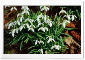 Forest Snowdrops HD Wide Wallpaper for Widescreen